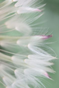 "simply-beautiful-world: "" Whispers "" Dandelion Clock, Dandelion Wish, Dandelion Seeds, Simply Beautiful, Beautiful World, Beautiful Flowers, Beautiful Things, Fotografia Macro, Make A Wish"