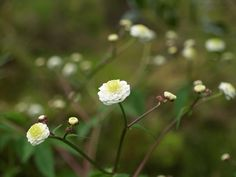 2015-05-31: Ranunculus aconitifolius 'Flore Pleno' Live In The Now, Ranunculus, Perennials, Gardens, Plants, Flowers, Persian Buttercup, Plant, Perennial