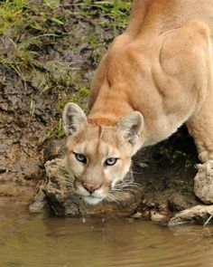 Cougar by Cody Hoagland via National Geographic :)