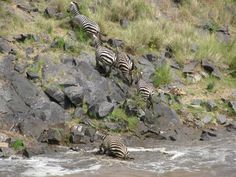 After waiting in anticipation for two hours finally, a brave zebra took the first leap of faith and the rest followed suit. Hundreds of wildebeest and zebra went single file as they bobbed up and down across the river only to tackle a steep rocky climb up the other side. By Melissa Mercer