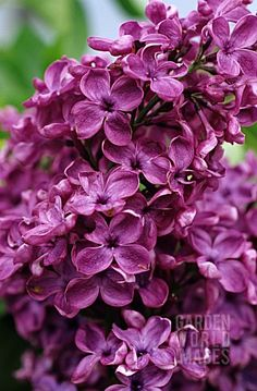 Garden World Images Lilac Bouquet, Lilac Flowers, Flowers Nature, Beautiful Flowers, Syringa Vulgaris, Flowering Shrubs, All Things Purple, Trees To Plant, Planting Flowers