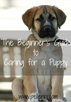 The Beginner's Guide to Caring for a Puppy - we didn't know what we were getting ourselves in to when we picked Sadie up. I learned a lot by doing and I hope these tips will help you too! #puppytraining
