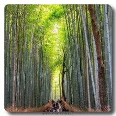 Bamboo Trees Kyoto