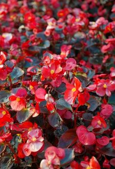 Begonia - Blooms a lot and is very strong. Has more than 1800 species. Window Box Flowers, Bulb Flowers, Red Flowers, Pretty Flowers, Spring Flowers, Colorful Flowers, Spring Flowering Bulbs, Spring Bulbs, Flowering Shrubs
