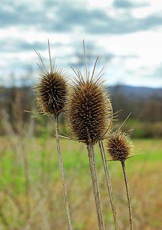 Teasel (Dipsacus), Warren County, within the Honey Run Wildlife Management Area.