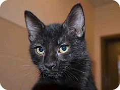This cute and adorable little girl kitten is FIVE.  She is available for adoption at Contra Costa Animal Services in Martinez, CA.  Won't you consider giving a gorgeous little kitten a FOREVER loving home.  Please network & share so we may find FIVE a home.