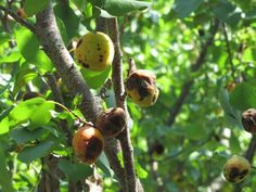 Brown rot is a fungal disease that commonly affects stone fruit trees like peaches and cherries. Learn how to control brown rot in your fruit garden. Apricot Tree, Plum Tree, Peach Trees, Fruit Garden, Edible Garden, Garden Plants, Pruning Fruit Trees, Tree Pruning, New Fruit