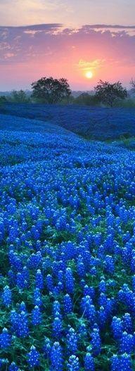 magnifique champs de fleurs bleues ...