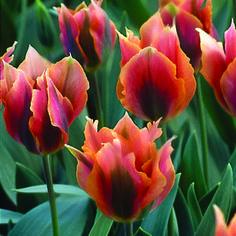 Viridiflora Tulip, Artist