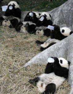 five cute pandas drinking milk from a bottle