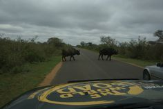 Oct. 13, 2007, meeting an angry buffalo in Kruger park, South Africa