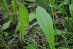 Vihattu voikukka on arvostettu salaattikasvi Plant Leaves, Herbs, Garden, Nature, Plants, Eat, Google, Garten, Naturaleza