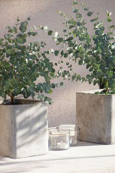 Eucaliptus cinerea en macetones: