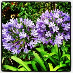 Darling Agapanthus Couple...