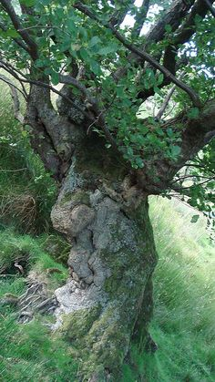 Druids Trees: I would love to sit and have a conversation with this tree. Sort of an Ent tree. Weird Trees, Magical Tree, Tree People, Tree Faces, Unique Trees, Old Trees, Nature Tree, Parcs, Tree Art
