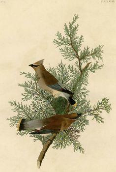 Cedar Bird (now called Cedar Waxwing) by John James Audobon Vintage Bird Illustration, Botanical Illustration, Illustration Art, Audubon Prints, Audubon Birds, Cedar Waxwing, Birds Of America, Bird Book, John James Audubon
