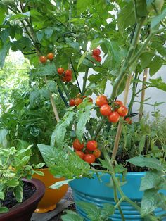 Benefits to growing tomatoes in pots or containers + what's most important to know about growing tomatoes in a pot