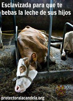 Esclavizada para que te bebas la leche de sus hijos. ¡Hazte vegano!