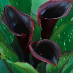 Zantedeschia: black star lilly