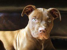 Puppy 4 Pitbulls, Puppies, Dogs, Animals, Animales, Puppys, Animaux, Pitt Bulls, Pet Dogs
