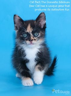 Domestic Medium Hair cats are referred to as mutts because they are mixed breed felines.