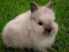 lionhead rabbits | Lionhead Rabbits in San Fernando, California - Hoobly Classifieds