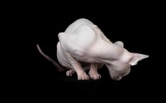 The Disturbing Beauty of Sphynx Cats — Frame Your Pet - Los Angeles Pet Photographer Sphynx Cat, Hairless Cats, Pet Photographer, Cat Photography, Vertebrates, Cats And Kittens, Dog Cat, Lion Sculpture, Statue