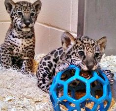 Jaguar cubs at the Milwaukee County Zoo can now be viewed in person by zoo visitors for the first time since their birth on November 13.  A