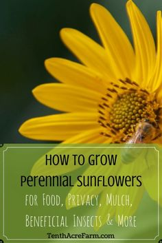 Maximillian sunflower is a beautiful flower to add to your garden, but its uses go beyond beauty. Learn 8 reasons to grow it in your permaculture garden. Pin for later! #microfarm #permaculture #gardening #perennialsunflowers