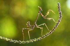 Las increíbles fotografías del concurso National Geographic 2014. Mantis en Turquía. Foto de Mehmey Karaca. National Geographic Photo Contest