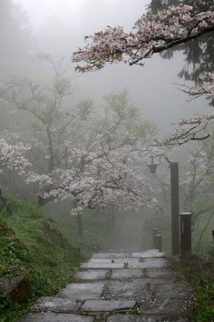 Mist and cherry trees.