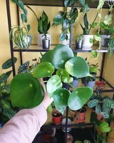 PEPEROMIA RAINDROP 🍀 Wiele osób myli ją z pieniążkiem, a różni się od niego wielkością liści i grubością łodyg. Kupiona w Dino za 1 zł 😯 Rozdałam już z niej 4 sadzonki, także rośnie jak szalona 😊 Na jednym listku ma ciekawe białe wybarwienie 🤔, może trafiła się variegata? Oby się utrzymało!PEPERO Plant Care, Evergreen, Tropical, Plants, Plant, Planets