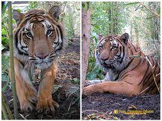 Nezahualcóyotl, Méx. 26 Julio 2013. El Tigre de Bengala, otra de las especies que se han logrado reproducir con éxito en el Zoológico Parque del Pueblo de Nezahualcóyotl, al grado que se cuida su cruza para evitar tener sobre población de esos imponentes y hermosos animales.