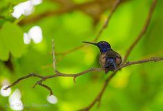 Hummingbird - Beija Flor