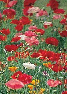 Wildflower Pack of Poppies D3348 (Multi) 1000 Open Pollinated Seeds by David's Garden Seeds David's Garden Seeds http://www.amazon.com/dp/B00US36UKI/ref=cm_sw_r_pi_dp_wOVJvb1VS5BAE