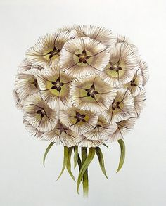 Scabiosa Seed Pod created by Parnell Corder