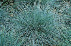 Gardening with Ornamental Grasses: Blue Fescue