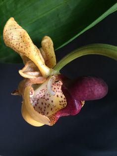 Orquídea Coryanthes misasi