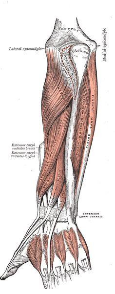 Medical Illustration of Human Forearm