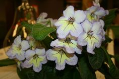 https://flic.kr/p/sqaWj1 | Streptocarpus 'Noreen' | From the Twin Cities Gesneriad Society Spring Show 2015.