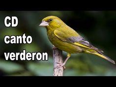 cd canarios do reino 2013