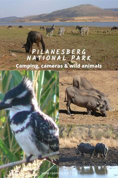 Camping in the Pilanesberg, where all the photographers go. Your lens is gigantic! National Park Camping, National Parks, Travel Around The World, Around The Worlds, Camping Photography, Camping Glamping, Photo Essay, Africa Travel, Travel Goals