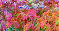 """""""The Dancing Peacock"""" japanese maple"""