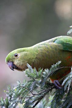 King Parrot, Australia.