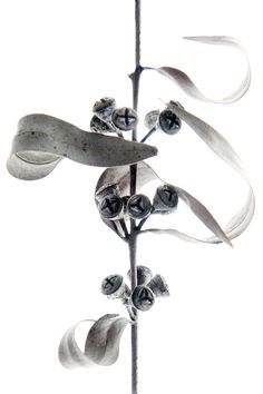 eucalyptus seeds capsules (mary jo hoffman)