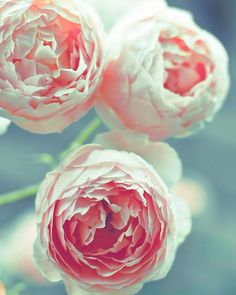 English Roses by Raceytay