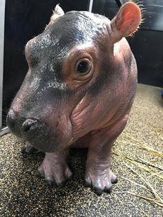 Fiona the baby Hippo at the Cincinnati Zoo