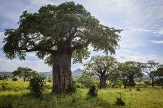 A group of Baobab trees in Tarangire National Park, Tanzania.