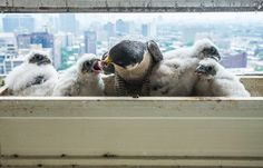 Diary of an urban peregrine falcon nest in Chicago – in pictures