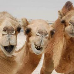 SMILE, the camels are laughing at us.